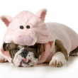 dog wearing pink pig costume isolated on white background - english bulldog